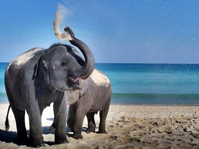 phuket-scouting-elephant
